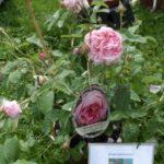Dilians Blaudruck und die Tölzer Rose in Bad Tölz